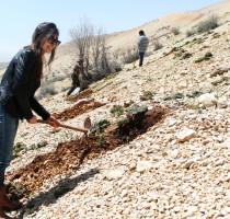 Cedar planting in Ainata